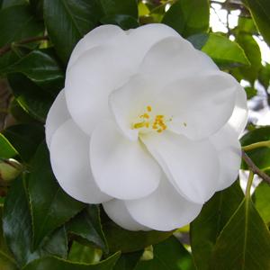 4月1日 白い椿