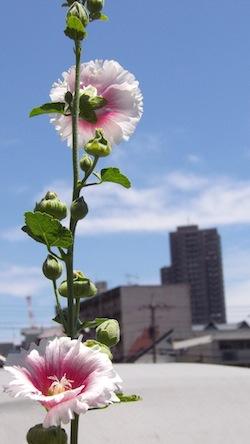 2013-07-15-mukuge.jpg