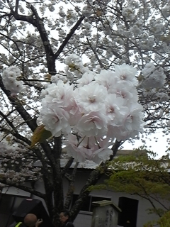 DVC00033百年桜1