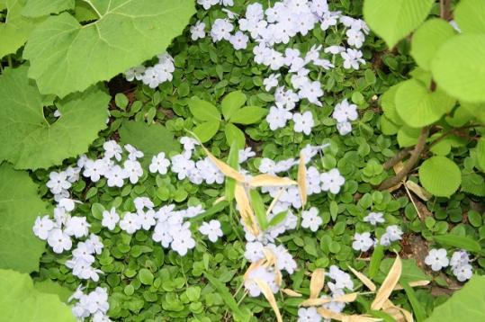 北アルプス白馬の花