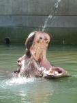 充分楽しいカバのタロー。水中を泳ぐ姿を見られるようになるのだろうか