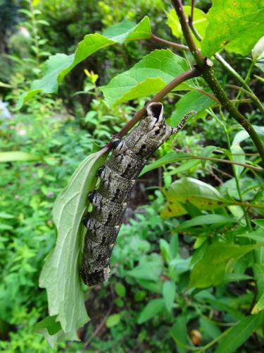こんな幼虫もいました。