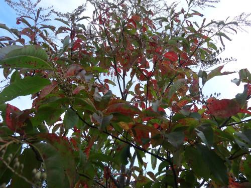 紅葉し始めたスズランの木