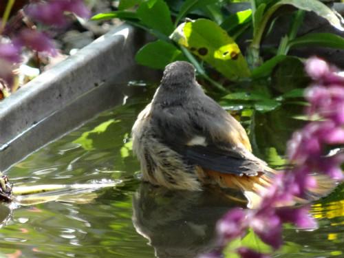 ジョウビタキの水浴び