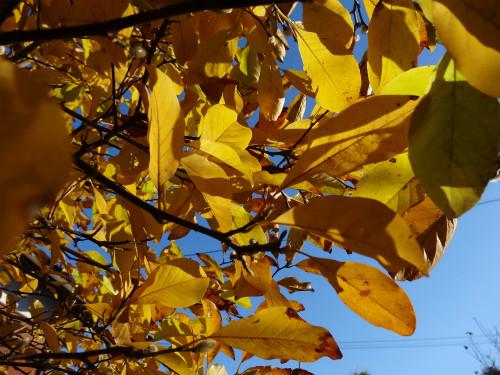 コブシの黄葉