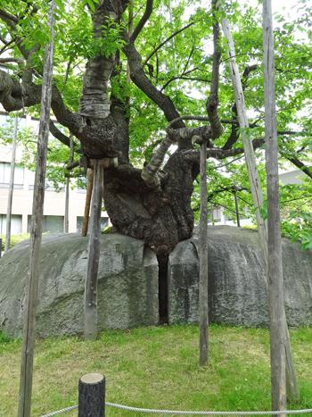 盛岡石割桜2012-3