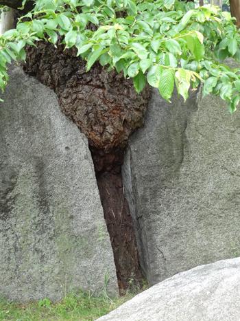 盛岡石割桜2012-4