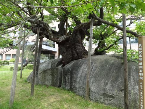 盛岡石割桜2012-5