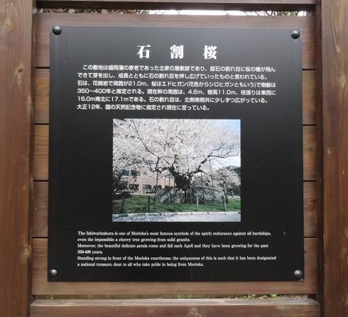 盛岡石割桜2012-6