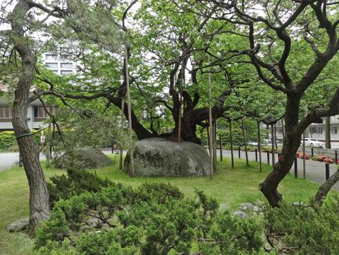 盛岡石割桜2012-8