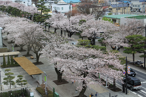 十和田官庁街と桜-2