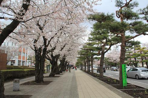 十和田官庁街と桜-3
