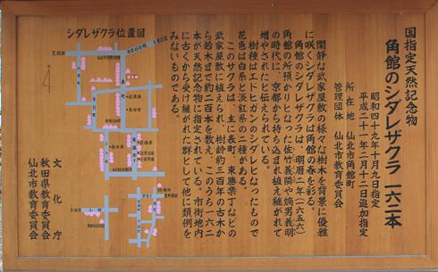 角館桜2013-7
