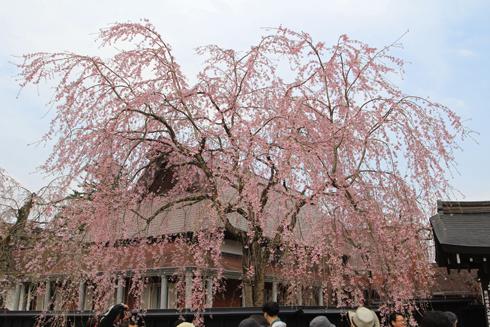 角館桜2013-11