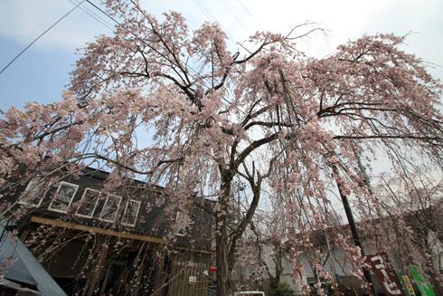 角館桜2013-15