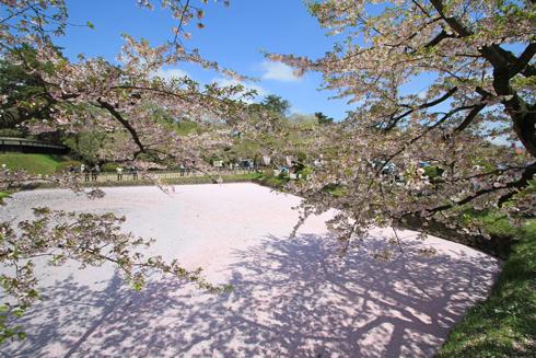 弘前桜祭2013-2