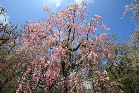 弘前桜祭2013-4