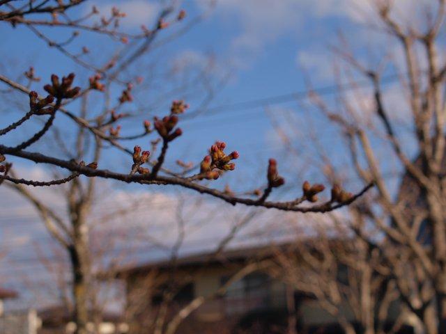 s桜のつぼみ