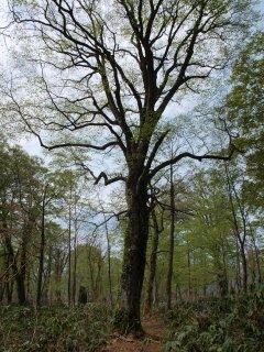 s07ブナの巨木