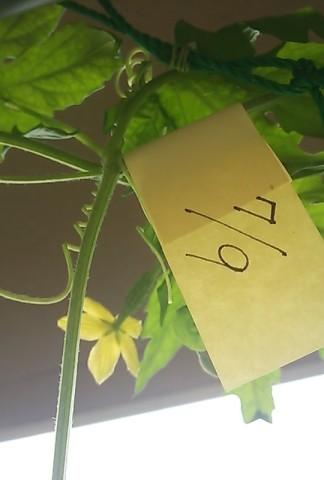7/9開花