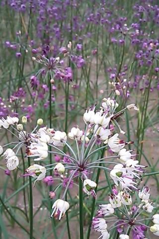 白いラッキョの花