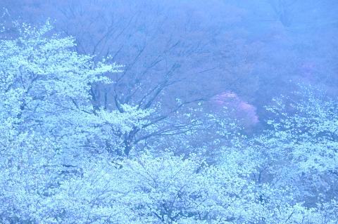 霧中に咲く①