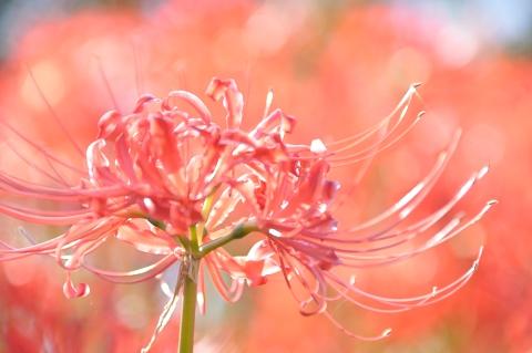 ピンク色のヒガンバナ
