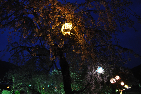 勝浦夜桜②