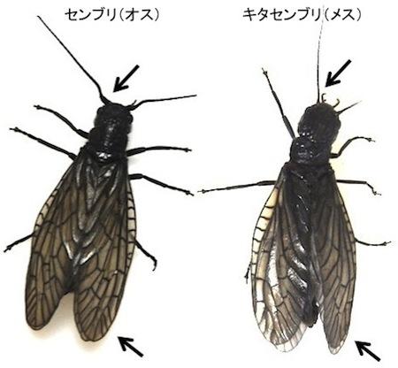 センブリ2種