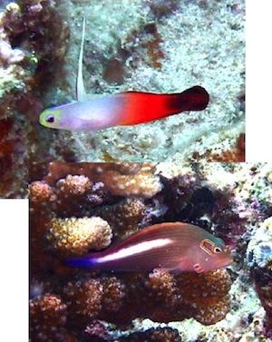 沖縄海水魚