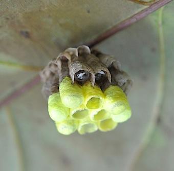 ベトナムアシナガバチ巣