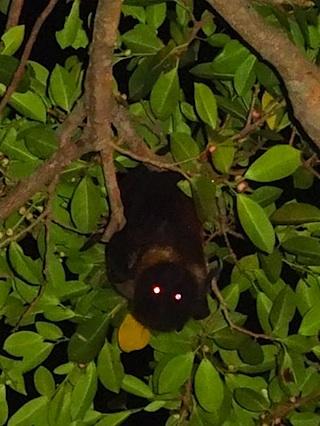 沖縄オオコウモリ