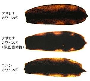 カワトンボ幼虫