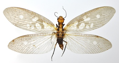 ヘビトンボ新種アッサム