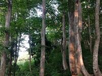 ブナの並木