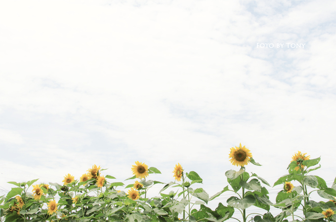 sunflower_2.jpg