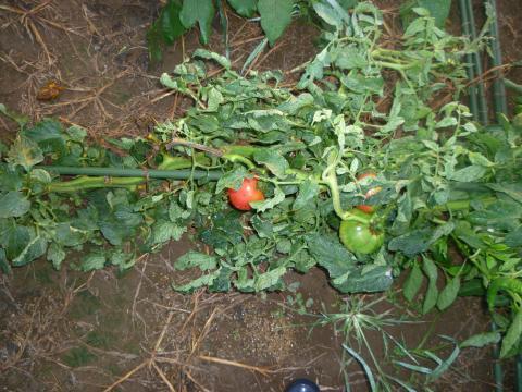 トマトいち