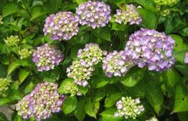 紫陽花見物