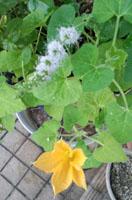 かぼちゃの花とミントの花