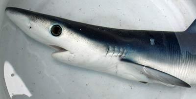 ヨシキリザメ頭部