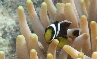 クマノミ稚魚