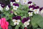 25.11.16庭の花 056_ks