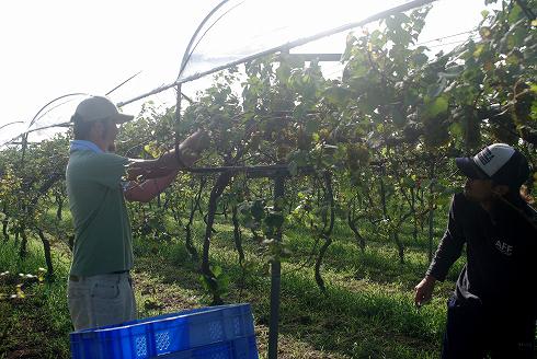 挑戦!都農ワインのブドウ栽培とワイン醸造