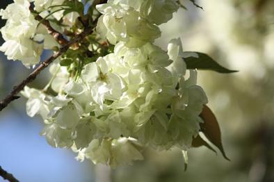 4月8日 咲き始め