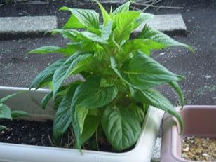 何の植物?