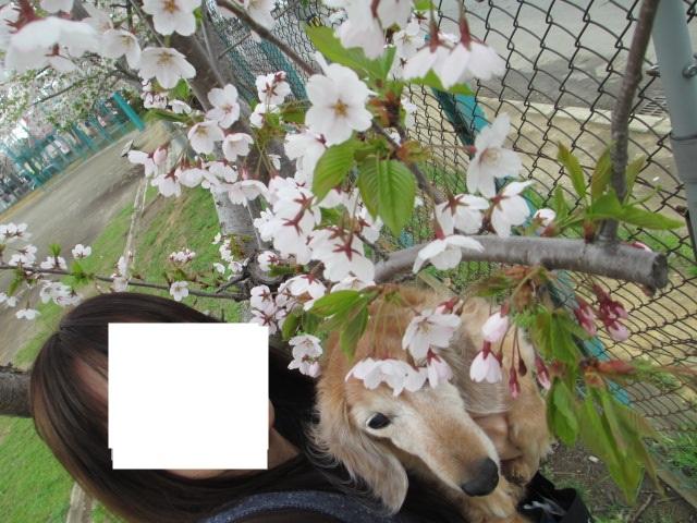 桜2013、2