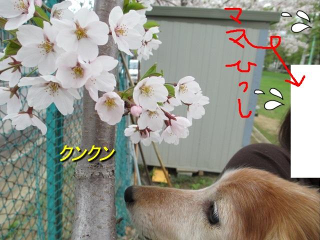 桜2013、1