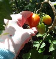 トマトの収穫で。