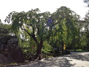 11:33 御滝桜と亀石