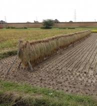 10:43 稲が干してあります。